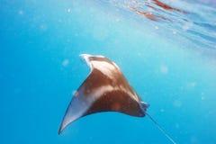 Manta promienia unosić się podwodny Obrazy Stock