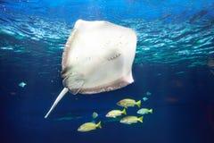 Manta promienia unosić się podwodny Obrazy Royalty Free