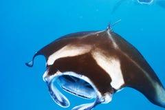 Manta promienia unosić się podwodny Fotografia Royalty Free