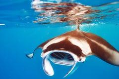 Manta promienia unosić się podwodny Obraz Stock