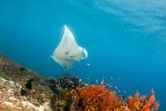 Manta que alimenta em um recife raso Parque nacional de Komodo foto de stock