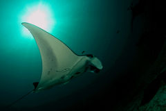 Manta ray... Royalty Free Stock Image