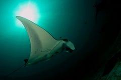 Manta ray... Royalty Free Stock Image