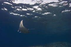 Manta Ray. A small manta ray making it's way over pinnacle point royalty free stock photography