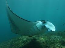 Manta ray. Near Nusa Penida island in Indonesia Royalty Free Stock Photos