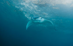 Manta Ray. Large Manta Ray approaching at Nusa Penida, Bali, Indonesia Stock Images
