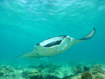 Manta ray. Over a coral reef stock photo
