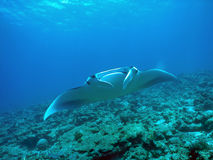 Manta ray. Over a coral reef stock image