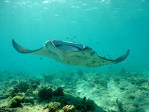 Manta ray. Over a coral reef stock photography