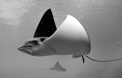 Manta Ray. Stock Photography