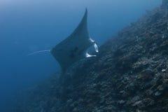 Manta ray. Swimming in the blue sea royalty free stock photo