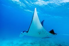 Manta ray. Swimming in the ocean in French Polynesia Royalty Free Stock Image