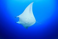 Manta ray. In the blue water of the ocean Stock Images