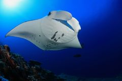 Manta ray. In the blue water of the ocean Stock Photography