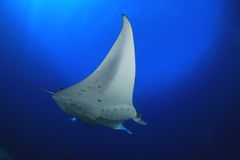 Manta ray. In the blue water of the ocean Royalty Free Stock Images