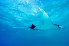 Manta ray. Swimming in Pacific ocean at French Polynesia Royalty Free Stock Photos