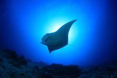Manta ray. In the blue water of the ocean Royalty Free Stock Photography