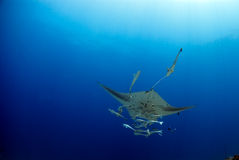 Manta ray. Under the watersurface Royalty Free Stock Photo