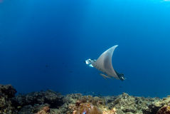 Manta ray. Flying over the coral reef Royalty Free Stock Photography