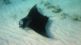 Manta Ray Photo libre de droits