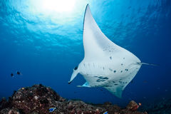 Manta Ray Images stock
