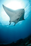 Manta Ray Photos libres de droits