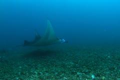 Manta ray stock photo
