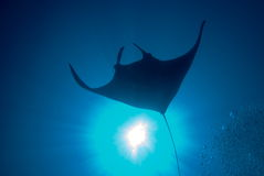 Manta Ray. These type of stingray are common around the reefs in Thailand Royalty Free Stock Photo