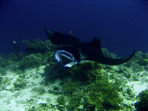Manta Ray. A manta ray feeding on tiny plankton Stock Photography