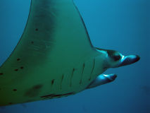 Manta Ray. Gliding over the reef royalty free stock photos