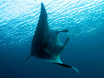 Manta Ray. In underwater. Location: Sharm El Sheikh Royalty Free Stock Photography