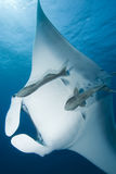 Manta Ray. (Manta birostris) with blue water background stock photography