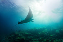Manta Ray. Alone Manta Ray flying underwater stock photography
