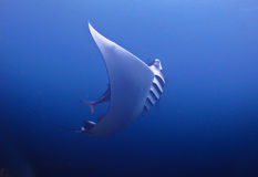 Manta Ray Royalty Free Stock Photo