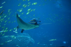 Manta Ray in aquarium Royalty Free Stock Photo