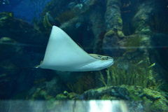 Manta Ray in aquarium Stock Photography