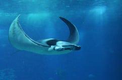 Manta ray. Big manta ray swimming near the surface royalty free stock image