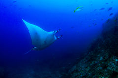 Manta Ray. (Manta birostris) in blue ocean stock image