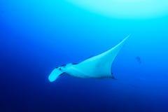 Manta Ray. (Manta birostris) in blue ocean stock images
