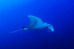 Manta Ray. (Manta birostris) in blue ocean stock photography