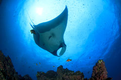 Manta Ray. (Manta birostris) in blue ocean royalty free stock image