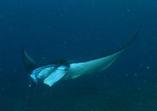 Manta ray Royalty Free Stock Image