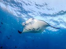 Manta Ray in blue water Stock Photography