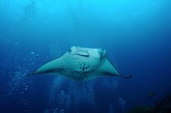 Manta ray in bubbles Stock Photography