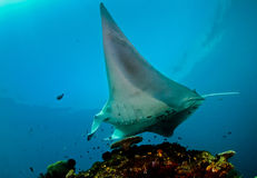 Manta Ray Cleaning Station Stock Image