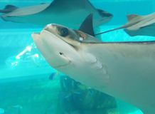 Manta ray close up Royalty Free Stock Image