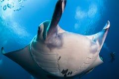 Manta ray close-up Stock Images