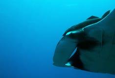 Manta Ray. Close-up of a Pacific Manta Ray (Manta Birostris) Passing By, Caño Island, Costa Rica royalty free stock images