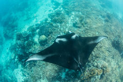 Manta Ray and Coral Reef Royalty Free Stock Images