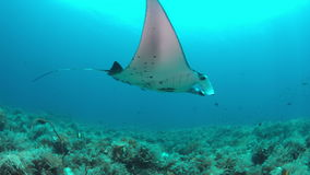 Manta ray on a coral reef 4k. Manta ray swims on a colorful coral reef. 4k footage stock video footage